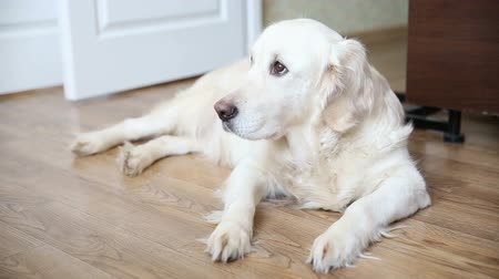 large breed dog : happy life of pets in the family. a happy full-bodied dog, a golden retriever is resting, lying on the kitchen floor.