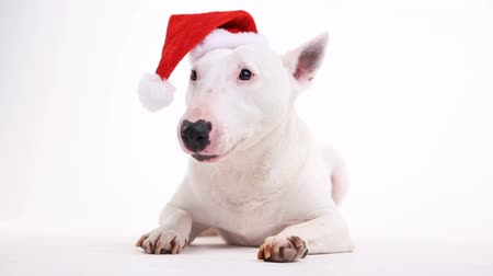 breed : bull terrier in a Christmas red hat on a white background in the studio