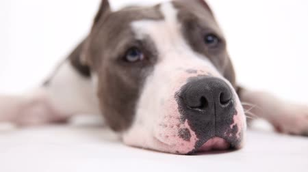 szemfog : American pit bull terrier lies on a white background in studio