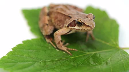 anura : the frog on green leaf