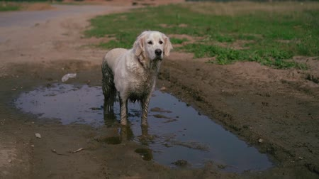 mud bath : Funny video - a beautiful thoroughbred dog with joy lying in a muddy puddle