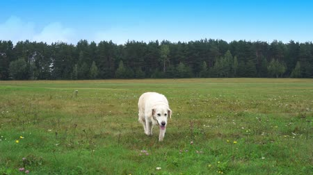 grappig hond : gouden retriever loopt over gras in slow motion Stockvideo