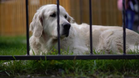 large breed dog : happy life of pets - beautiful well-groomed thoroughbred dog resting on the grass in the courtyard of the house Stock Footage