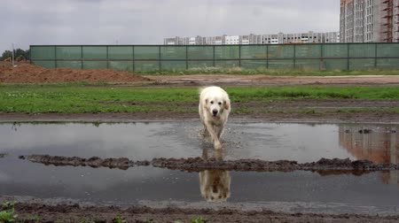 Funny video - a beautiful thoroughbred dog with joy lying in a muddy puddle