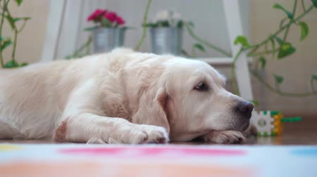 happy lives of pets at home - beautiful big dog resting in the room Стоковые видеозаписи