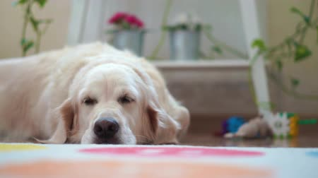 happy lives of pets at home - beautiful big dog resting in the room Dostupné videozáznamy