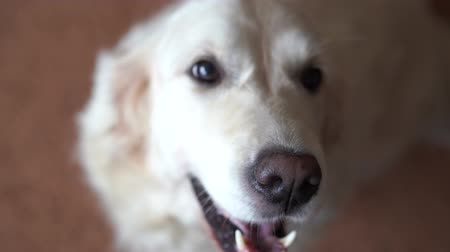 canine teeth : Closeup portrait of a beautiful Golden Retriever dog - focus on the nose, then focus on the eyes. handheld shoot