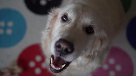 animais domésticos : funny slow-motion video - dog golden retriever catches food at home. Slow motion, high speed camera