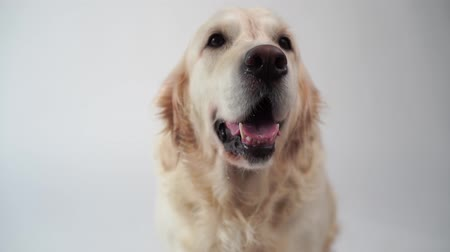 large breed dog : cute dog - portrait of a beautiful golden retriever on white background - slow motion, high speed camera