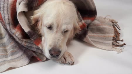 loved : loved pets at home - the big kind dog rests in the fall or in the cold winter under a rug Stock Footage