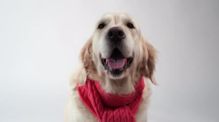 zsebkendő : love for pets - funny portrait of a golden retriever in a warm scarf on a white background Stock mozgókép