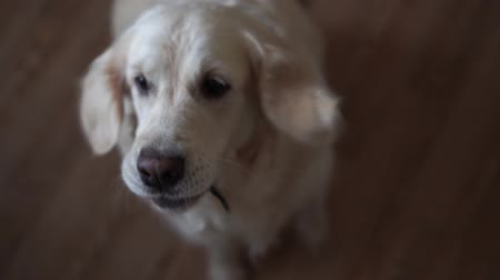 fish eye : funny slow-motion video - dog golden retriever catches food at home. Slow motion, high speed camera