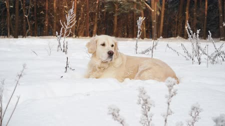 large breed dog : pets in nature - a beautiful golden retriever sits in a winter snow-covered forest