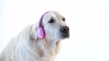 fur headphones : love of music - funny portrait of a dog with headphones on white background