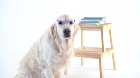 galhofeiro : back to schoo - funny video, beautiful dog with a wearing glasses posing in the studio on a white background