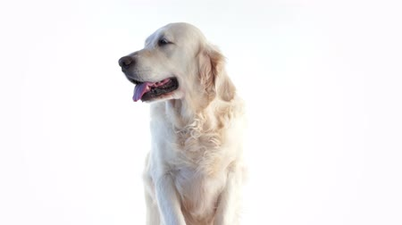 animal themes : portrait of a beautiful dog on a white background in the studio isolated Stock Footage
