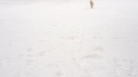 rent : slow motion beauty - happy dog runs in winter over snowy glade