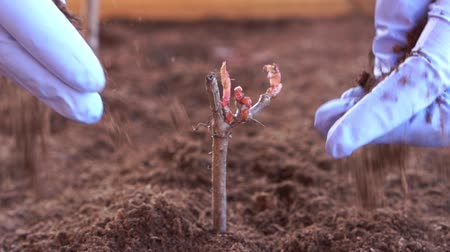 caixa de ferramentas : beauty slow motion. gardening and horticulture - close up of hands sprinkled earth on a plant in a box