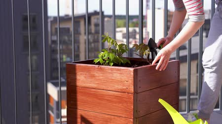watering can : gardening and horticulture. growing girlish grapes in a box on a terrace in the city.