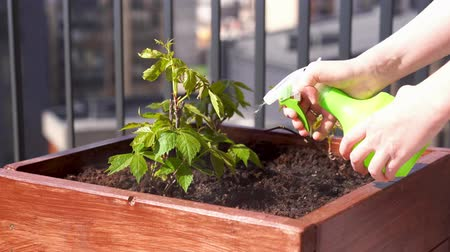 can : gardening and horticulture. growing girlish grapes in a box on a terrace in the city.