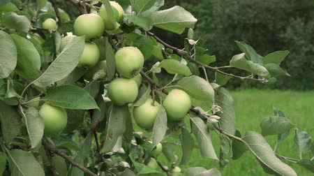 apple orchard : Branch of tree with green apples ripening in fruit garden Stock Footage