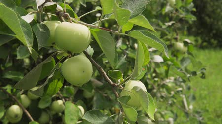 apple tree : Close-up of branch with fresh green apples with drops in sunny fruit garden Stock Footage