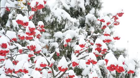 sorbus : Snow falling on white snowy background with red rowan berries and green fir trees