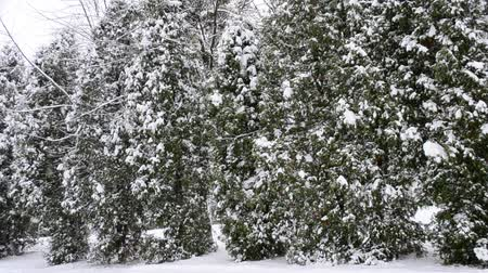 nevando : Snowing on green thuja trees background