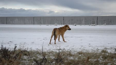 nadzieja : Homeless hungry mongrel dog with an ear clip patiently waiting for somebody by the side of the road covered with snow, looking into the distance in an overcast weather with clouds moving in background