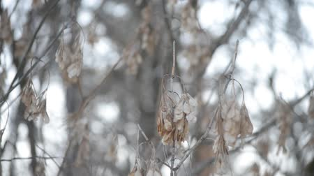 acer : Samara fruit seeds of leafless box elder tree trembling and swaying stirred by wind on light brown and white snow background