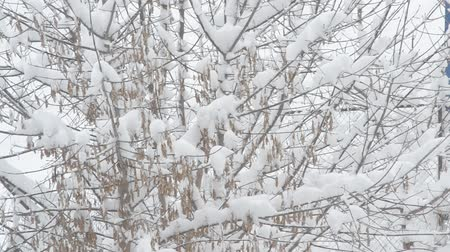 acer : Snow falling on background of leafless box elder tree branches covered with heaps of snow and swaying. Samara seeds trembling in the wind on white snowy backdrop