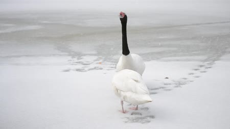 ruínas : Cygnus melancoryphus. Pair of black necked swans move their heads up and down standing on snow-covered frozen pond or lake with their footsteps visible on snow