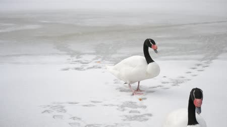 ruínas : Cygnus melancoryphus. Two beautiful black necked swans walk on snow-covered frozen pond leaving footsteps on snow finally walking out of frame Stock Footage