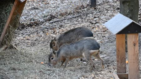 câmara : Dolichotis patagonum. Two Patagonian maras walk and eat in a park in autumn or winter. Stock Footage