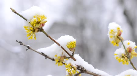 flocos : Cornus mas. Snow falling on snowy Cornelian cherry twig with beautiful yellow flowers gently swaying blown by wind in winter on white blurry background Vídeos