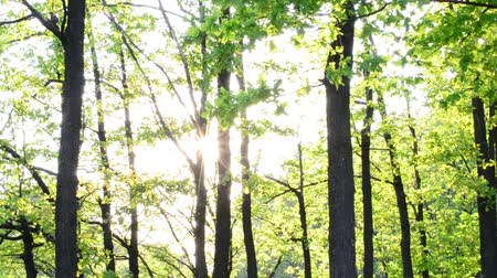 plash : Beautiful, twinkling sunshine with sun rays coming through fresh, vibrant, lush, spring foliage in forest in sunny day with shimmering plash of sunlight and lens flare with rainbow colors.