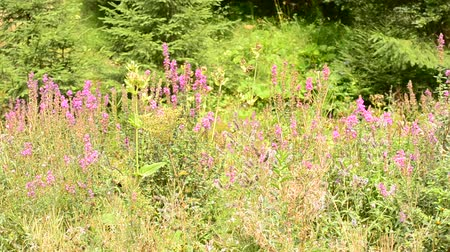salvia : Beautiful colorful lush meadow with flowers in forest on a sunny day with many insects and butterflies flying around and vibrant green fir trees in the background on a sunny day in summer Stock Footage