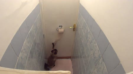 sanitário : Active Burmese cat playing with toilet paper and quickly unrolling it in lavatory. Funny impatient pet dynamically trying to exit and energetically scratches the closed door.