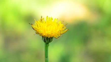 yelow : Closeup of a yelow dandelion flower on the field