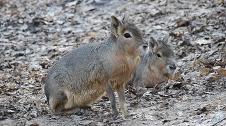 diurnal : Dolichotis patagonum. Patagonian mara sitting down and waiting