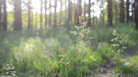 pratensis : Poa pratensis. Common or smooth meadow-grass or Kentucky bluegrass in a forest. Panicles blown by wind on blurred sunlit green and yellow background with blurry tree trunks and white bokeh circles