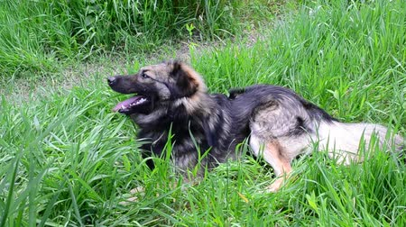 protrude : Cute black and brown fluffy domestic mongrel dog with open mouth and long rose protruded tongue lies on the ground in lush green grass, looks into camera and then walks away out of frame
