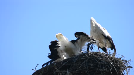 bird family : Stork comes down to nest with its family, bends its neck and rattles with its beak