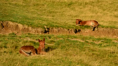 waggle : Two cute brown foals lie on pasture in field and relax at dawn on hill slope with partly dried grass in late August. Shot in late summer in Carpathian Mountains