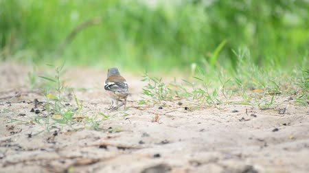 jump away : Male common chaffinch hops and walks looking for food foraging and eating on sandy ground with blurred green grass background and then moves out of focus. The bird is also called Fringilla coelebs.