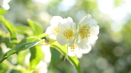 philadelphus blossoms : Philadelphus blossom. Closeup of blooming fresh mock orange shrub with white and yellow flowers on bright blurred green background in spring in sunshine with beautiful bokeh circles trembling gently Stock Footage