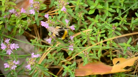 mar : Thymus serpyllum and Bombus. Fluffy bumblebee collects nectar, honey or pollen from many beautiful blossoming light purple Breckland thyme flowers, also call wild thyme or creeping thyme Vídeos