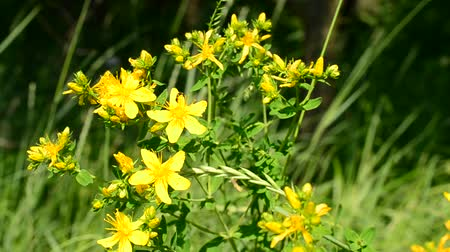 wort : Saint-Johns-wort in a meadow on green grass background on a sunny day