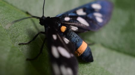 imitates : Syntomis phegea. Close up of a nine spotted moth on green leaf in summer