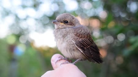 common whitethroat : Sylvia communis. Whitethroat fledgeling sitting on human hand outdoors.